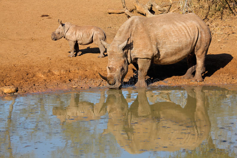White rhinoceros and calf. White rhinoceros (Ceratotherium simum) with calf drinking water, Mkuze game reserve, South Africa stock photo