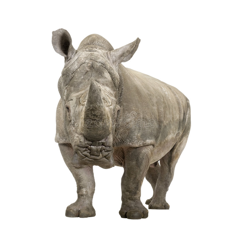 White Rhinoceros - Ceratotherium simum ( +/- 10 ye. White Rhinoceros or Square-lipped rhinoceros - Ceratotherium simum ( +/- 10 years) in front of a white royalty free stock image