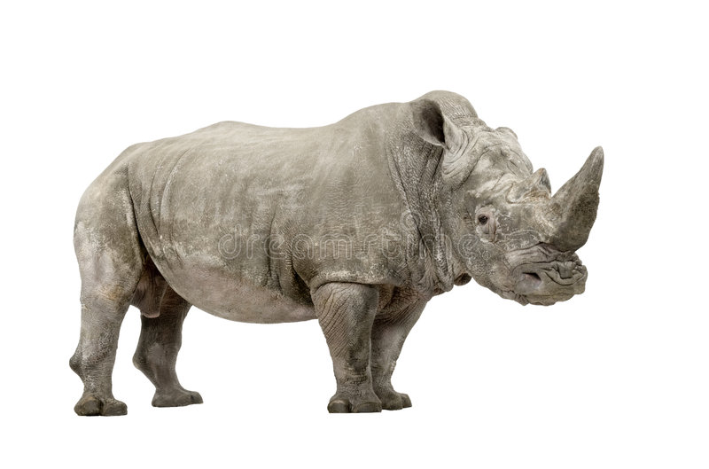 White Rhinoceros - Ceratotherium simum ( +/- 10 ye. White Rhinoceros or Square-lipped rhinoceros - Ceratotherium simum ( +/- 10 years) in front of a white stock images