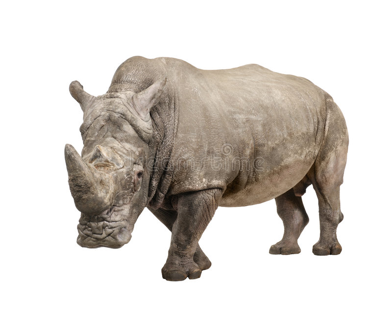 White Rhinoceros - Ceratotherium simum ( +/- 10 ye. White Rhinoceros or Square-lipped rhinoceros - Ceratotherium simum ( +/- 10 years) in front of a white stock image
