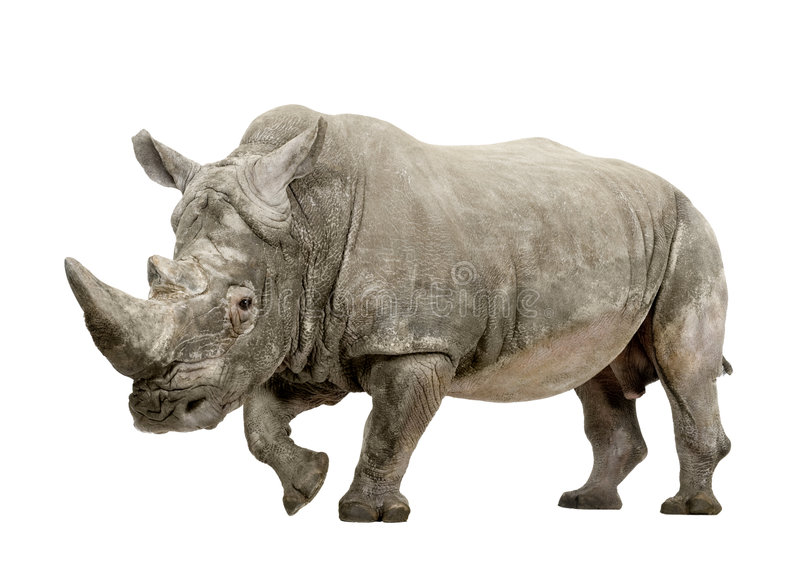 White Rhinoceros - Ceratotherium simum (+/- 10 years). White Rhinoceros or Square-lipped rhinoceros - Ceratotherium simum ( +/- 10 years) in front of a white royalty free stock image