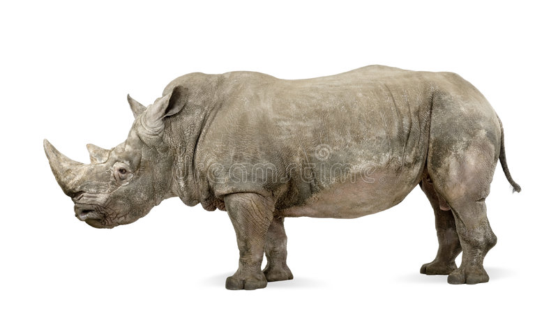 White Rhinoceros - Ceratotherium simum ( +/- 10 years). White Rhinoceros or Square-lipped rhinoceros - Ceratotherium simum ( +/- 10 years) in front of a white royalty free stock image