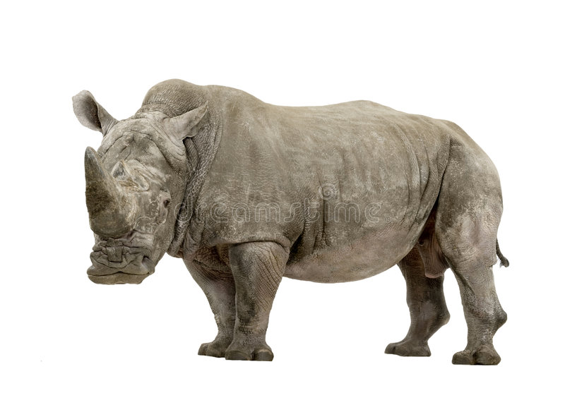 White Rhinoceros - Ceratotherium simum ( +/- 10 years). White Rhinoceros or Square-lipped rhinoceros - Ceratotherium simum ( +/- 10 years) in front of a white stock images