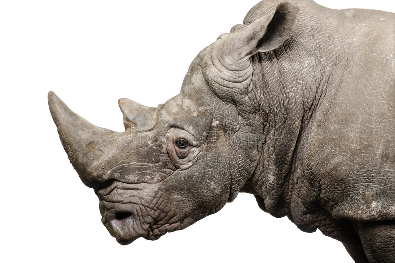 White Rhinoceros - Ceratotherium simum ( +/- 10 years). White Rhinoceros or Square-lipped rhinoceros - Ceratotherium simum ( +/- 10 years) in front of a white stock image