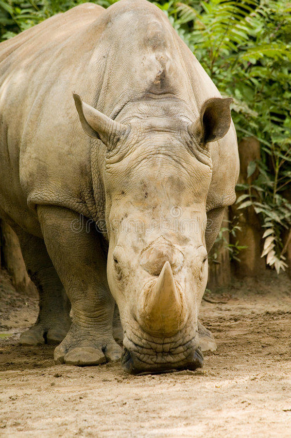 White Rhinoceros - Ceratotherium simum. Next to the elephant, the white rhino is the largest land mammal and can weigh up to 3.6 metric tons. Its two horns are royalty free stock photography
