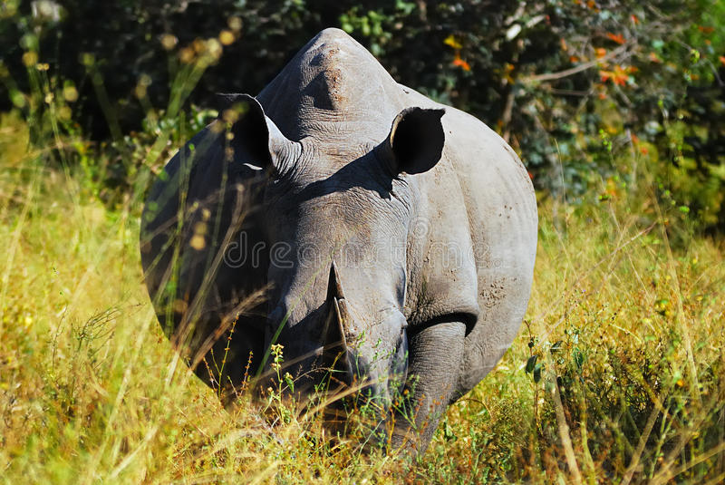 White Rhinoceros (Ceratotherium simum). The White Rhinoceros or Square-lipped rhinoceros (Ceratotherium simum) is one of the five species of rhinoceros that royalty free stock photo