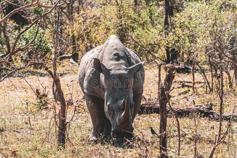 White Rhinoceros Ceratotherium simum. In kruger park, south africa royalty free stock photo