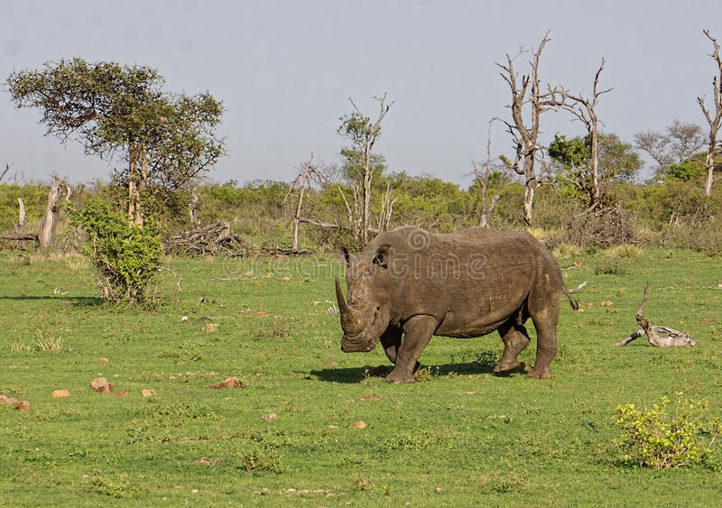 White rhinoceros. Ceratotherium simum against green background in Kruger National Park, South Africa royalty free stock image