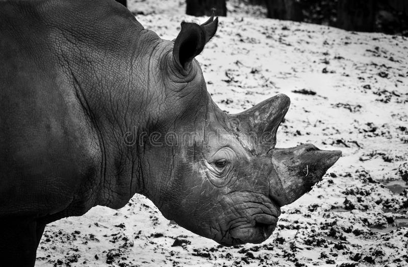 White rhinoceros in zoo. A white rhinoceros (Ceratotherium simum) in black and white portrait royalty free stock image