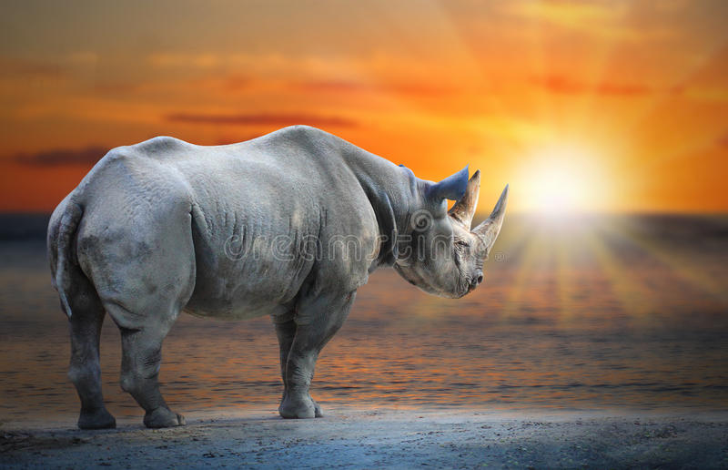 White Rhinoceros Ceratotherium simum cottoni. Last White Rhinoceros Ceratotherium simum cottoni standing on the beach against sunset. Saving big african animals royalty free stock photos