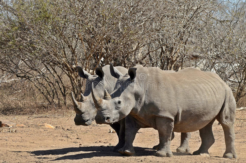 White rhinoceros (Ceratotherium simum). A couple of White rhinoceros (Ceratotherium simum) in Kruger National Park, South Africa royalty free stock photography