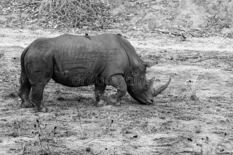 White Rhinoceros Ceratotherium simum. In a dried up riverbed royalty free stock image