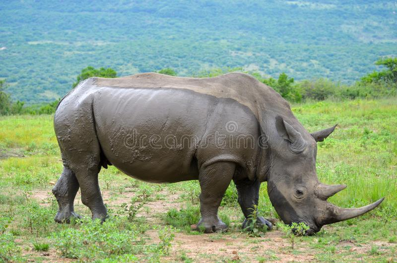 RHINO: A FRIEND IN NEED 07. White rhinoceros Ceratotherium simum are earth`s second-largest land mammals. Rhinos are endangered due to incessant poaching for stock photos