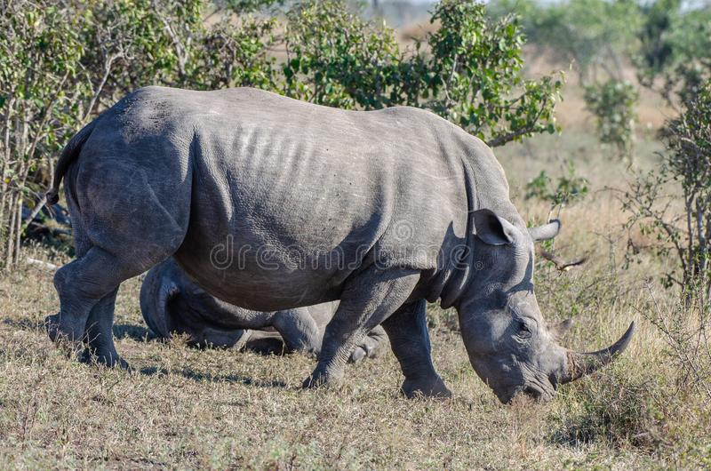 RHINO: A FRIEND IN NEED 10. White rhinoceros Ceratotherium simum are earth`s second-largest land mammals. Rhinos are endangered due to incessant poaching for royalty free stock photos