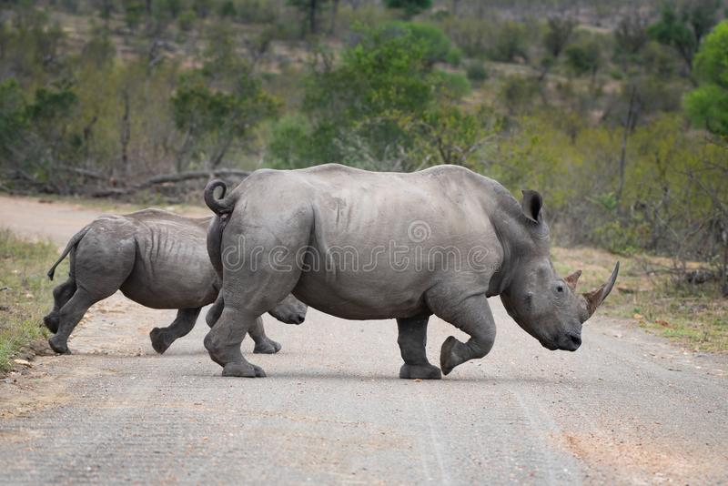RHINO: A FRIEND IN NEED 12. White rhinoceros Ceratotherium simum are earth`s second-largest land mammals. Rhinos are endangered due to incessant poaching for stock photos