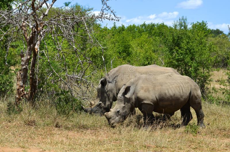 RHINO: A FRIEND IN NEED 14. White rhinoceros Ceratotherium simum are earth``s second-largest land mammals. Rhinos are endangered due to incessant poaching for stock photography