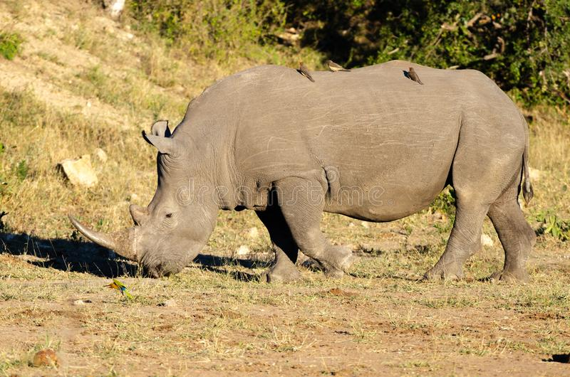 RHINO: A FRIEND IN NEED 16. White rhinoceros Ceratotherium simum are earth`s second-largest land mammals. Rhinos are endangered due to incessant poaching for stock photo