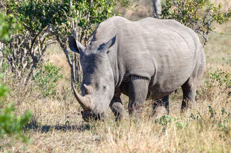 RHINO: A FRIEND IN NEED 17. White rhinoceros Ceratotherium simum are earth`s second-largest land mammals. Rhinos are endangered due to incessant poaching for stock image