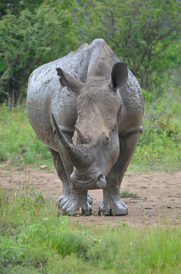 RHINO: A FRIEND IN NEED 05. White rhinoceros Ceratotherium simum are earth`s second-largest land mammals. Rhinos are endangered due to incessant poaching for royalty free stock images