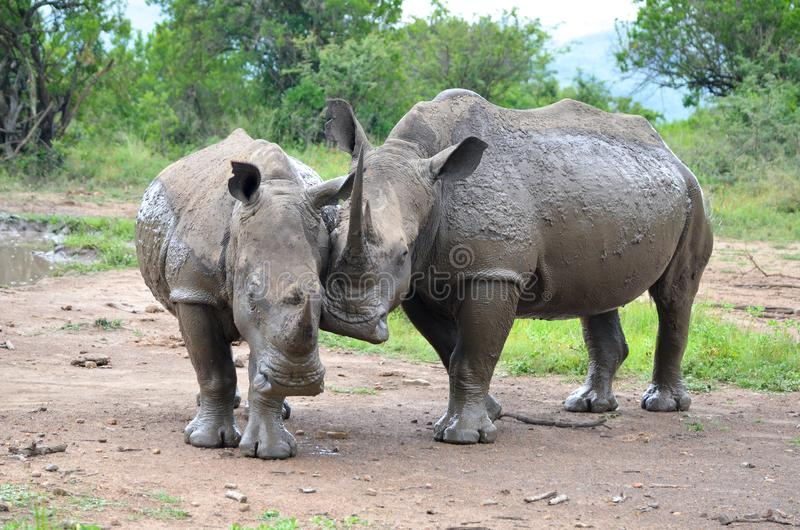 RHINO: A FRIEND IN NEED 06. White rhinoceros Ceratotherium simum are earth`s second-largest land mammals. Rhinos are endangered due to incessant poaching for stock photos