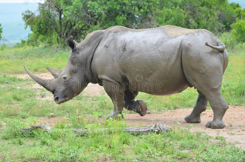 RHINO: A FRIEND IN NEED 08. White rhinoceros Ceratotherium simum are earth`s second-largest land mammals. Rhinos are endangered due to incessant poaching for royalty free stock photography