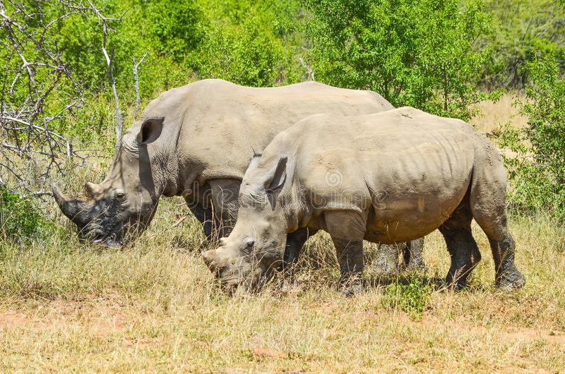 RHINO: A FRIEND IN NEED 11. White rhinoceros Ceratotherium simum are earth`s second-largest land mammals. Rhinos are endangered due to incessant poaching for stock image