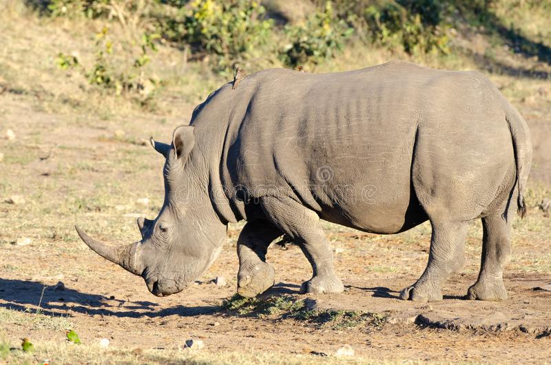 RHINO: A FRIEND IN NEED 13. White rhinoceros Ceratotherium simum are earth`s second-largest land mammals. Rhinos are endangered due to incessant poaching for stock photo