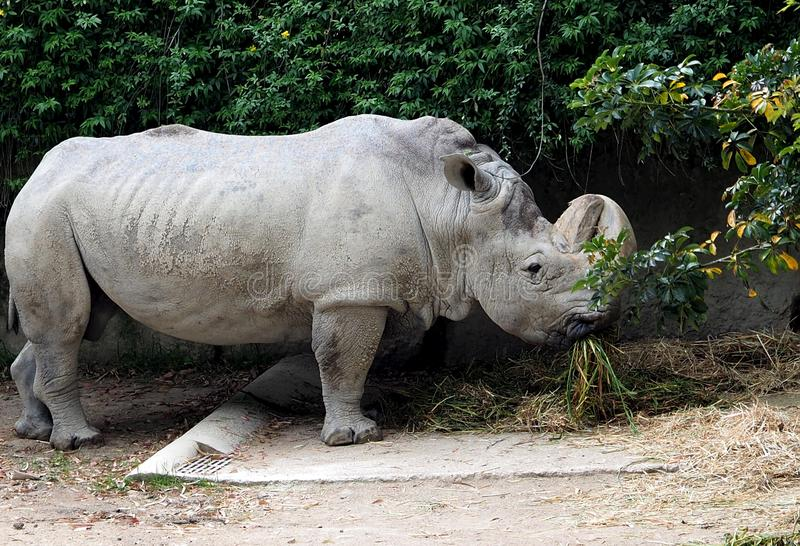 White Rhinoceros Or Ceratotherium Simum. Eating in enclosed compound at Lisbon Zoo Lisbon Portugal royalty free stock photos
