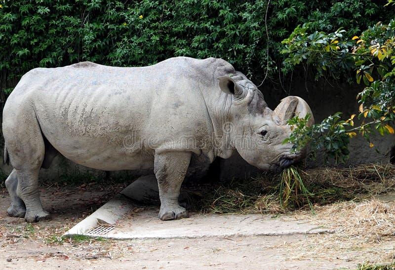 White Rhinoceros Or Ceratotherium Simum royalty free stock photos