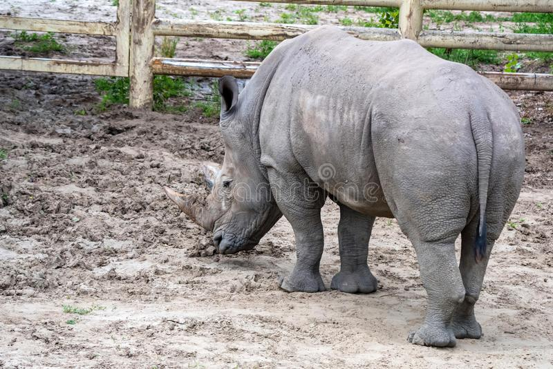 White rhinoceros or Ceratotherium simum grazing in captivity. Back view of White rhinoceros or Ceratotherium simum grazing in captivity in zoo royalty free stock image