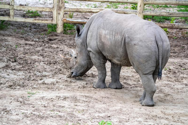 White rhinoceros or Ceratotherium simum grazing in captivity. Back view of White rhinoceros or Ceratotherium simum grazing in captivity in zoo stock photography