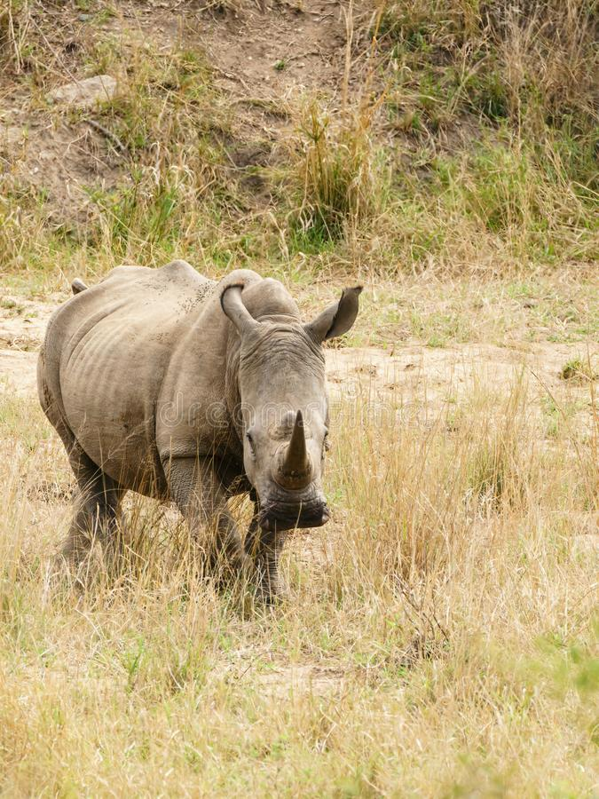 White Rhinoceros (Ceratotherium simum) in Kruger Park, South Africa royalty free stock photography