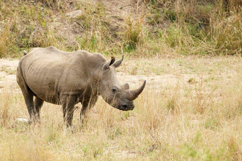 White Rhinoceros (Ceratotherium simum) in Kruger Park, South Africa stock images