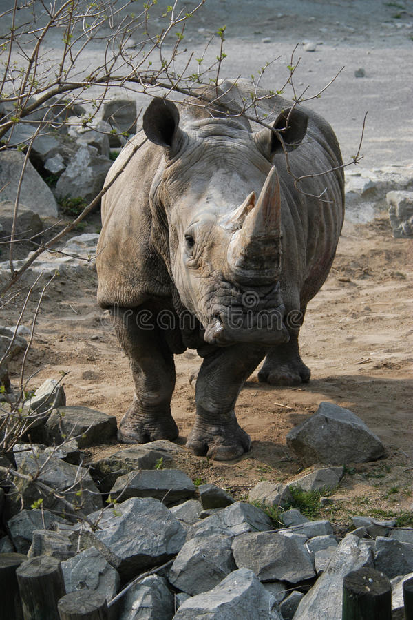 White rhinoceros. (Ceratotherium simum) looking at camera royalty free stock image