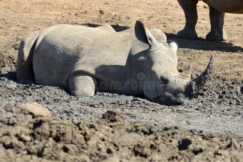 White rhinoceros (Ceratotherium simum). At a mud pool in Kruger National Park, South Africa royalty free stock image