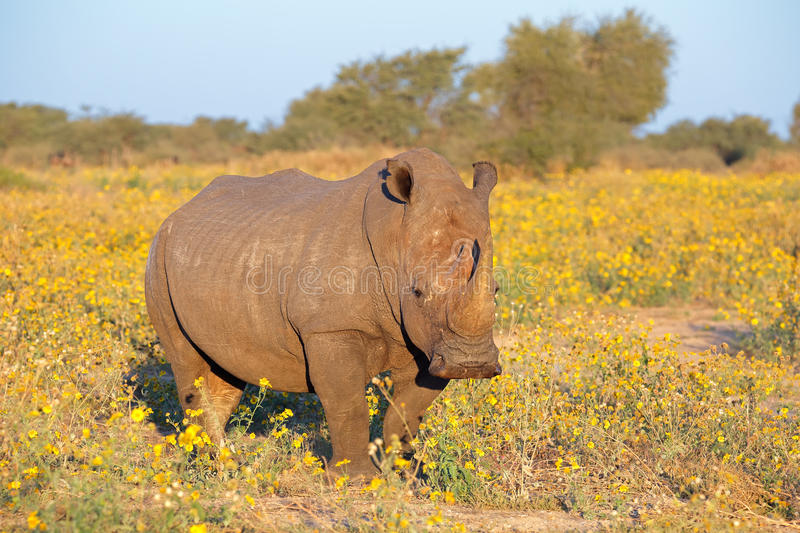 White rhinoceros. A white rhinoceros (Ceratotherium simum) in natural habitat, South Africa royalty free stock photography