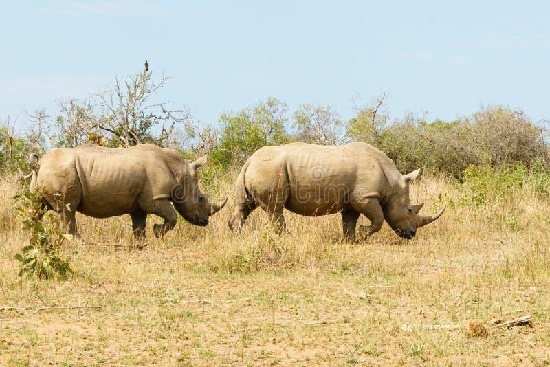 White Rhinoceros (Ceratotherium simum) pair wandering through open bush in Kruger Park stock image