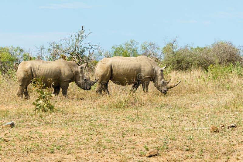 White Rhinoceros (Ceratotherium simum) pair wandering through open bush in Kruger Park royalty free stock photography