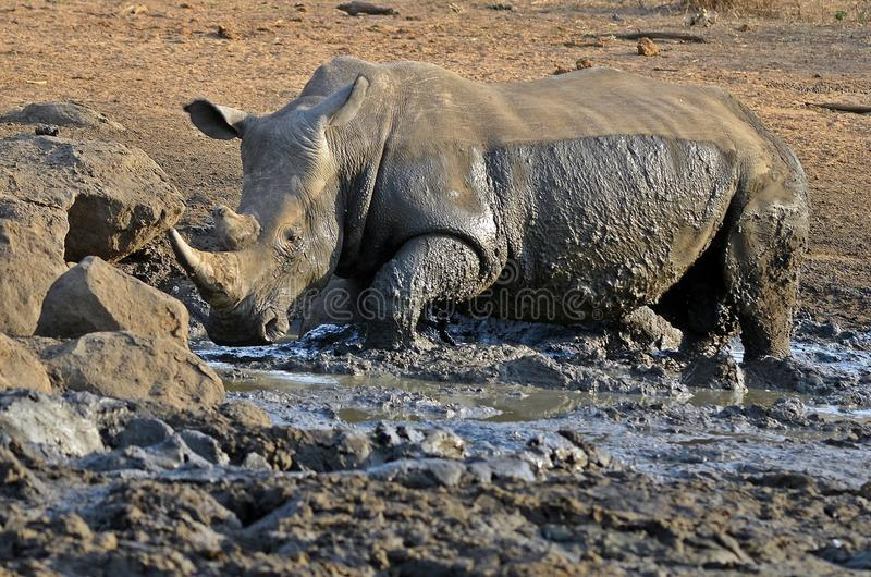 White rhinoceros (Ceratotherium simum). Playing in mud in Kruger National Park, South Africa royalty free stock photography