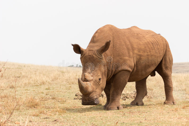 White rhinoceros (Ceratotherium simum). In Rhino and Lion Nature Reserve royalty free stock images