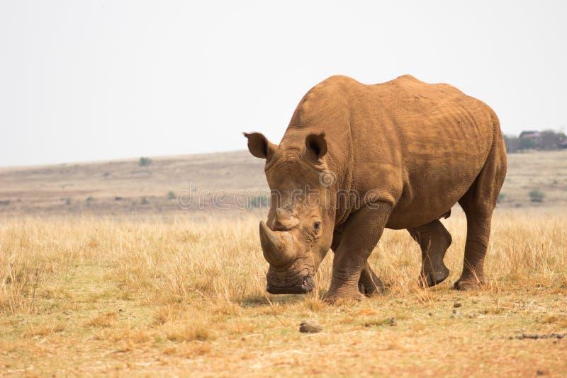 White rhinoceros (Ceratotherium simum). In Rhino and Lion Nature Reserve stock photography