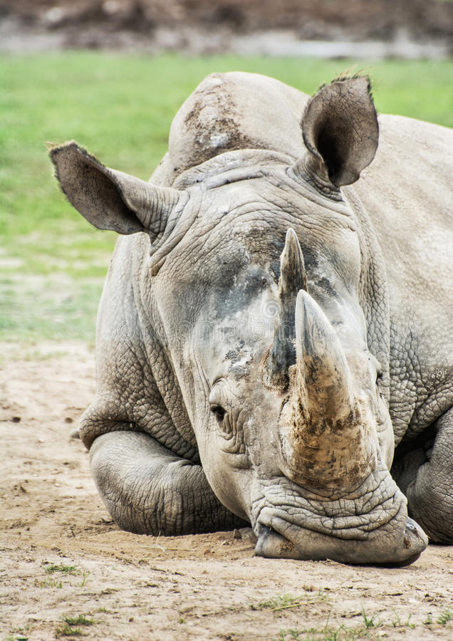 White rhinoceros - Ceratotherium simum simum, animal portrait. Close up profile portrait of the big White rhinoceros - Ceratotherium simum simum. Animal scene royalty free stock photos