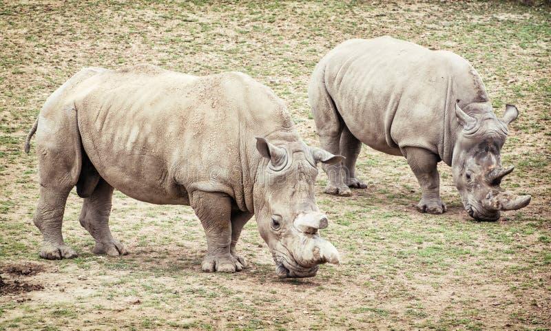 White rhinoceros (Ceratotherium simum simum), two animals stock photo