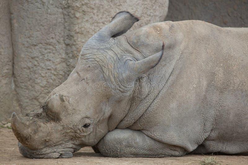 White rhinoceros (Ceratotherium simum). Southern white rhinoceros (Ceratotherium simum simum). Wildlife animal royalty free stock photos