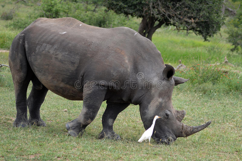 White rhinoceros (Ceratotherium simum). The white rhinoceros or square-lipped rhinoceros (Ceratotherium simum) with cattle egret companion in Kruger National royalty free stock image