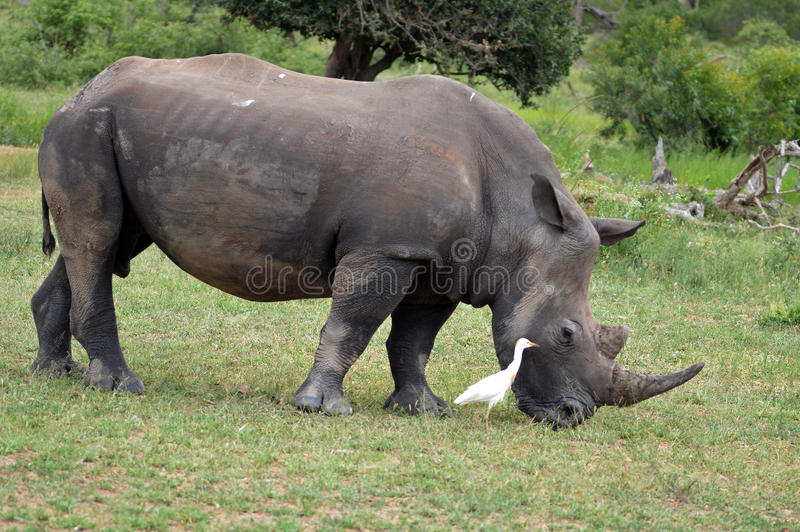 White rhinoceros (Ceratotherium simum). The white rhinoceros or square-lipped rhinoceros (Ceratotherium simum) with cattle egret companion in Kruger National royalty free stock photo