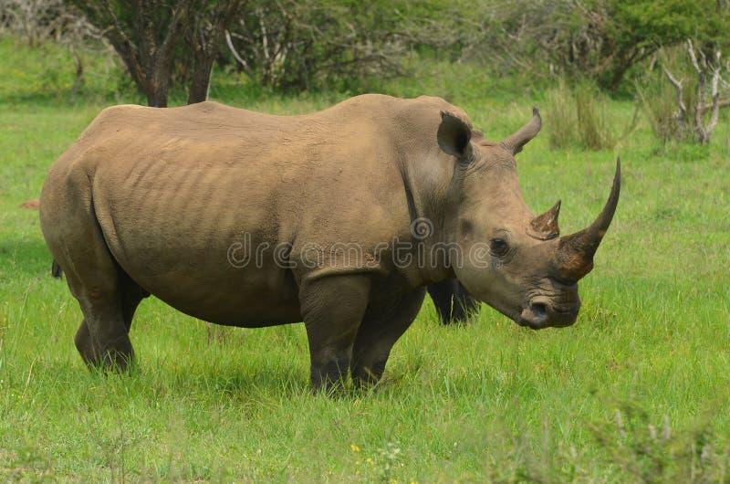 Download White Rhinoceros (Ceratotherium Simum) Stock Image - Image: 41494443