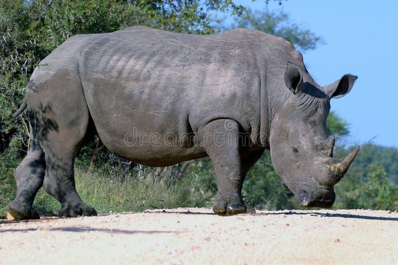 Download White Rhinoceros (Ceratotherium Simum) Stock Photo - Image: 41523660