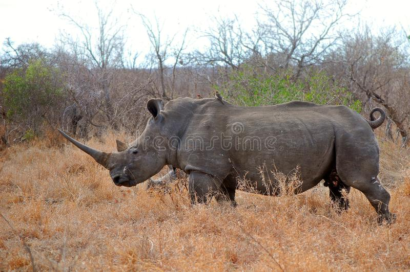Download White Rhinoceros (Ceratotherium Simum) Stock Photo - Image: 41579508
