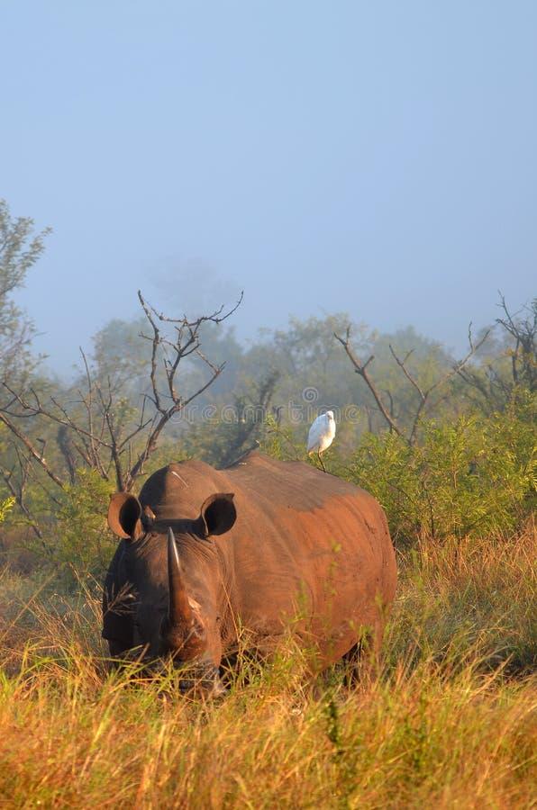 Download White Rhinoceros (Ceratotherium Simum). Stock Photo - Image: 41806830